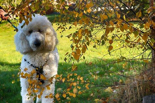 Puddle, Dog, Animal, Pet, Portrait
