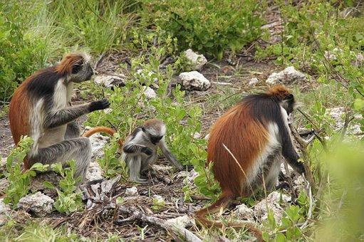 Monkey, Zanzibar, Nature, Africa, Wild, Primate