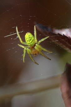 Spider, Green, Macro, Arachnid, Garden, Pumpkin Spider