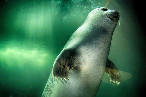 Robbe, Seal, Swim, Underwater, Mammal, Animal