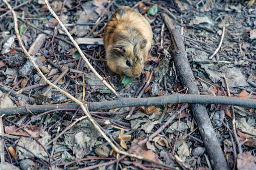 Guinea Pig, Brown, Forest, Nature, Rodent