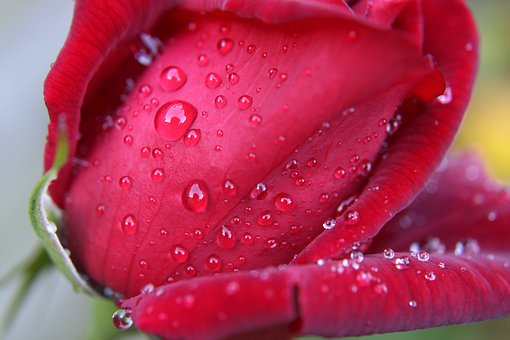 Red Rose, Rose, Red, Bloem, Bloesem, Bloeien, Roze