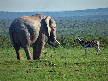 Zebra, Elephant, Africa, Safari, Animal World, Wild