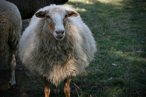 Sheep, Livestock, Wool, Herd Animal, Sheep's Wool