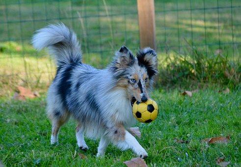 Dog, Bitch, Shetland Sheepdog Nobility Blue