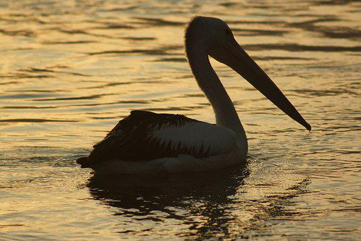 Pelican, Sunset, Water, Bird, Reflection, Silhouette