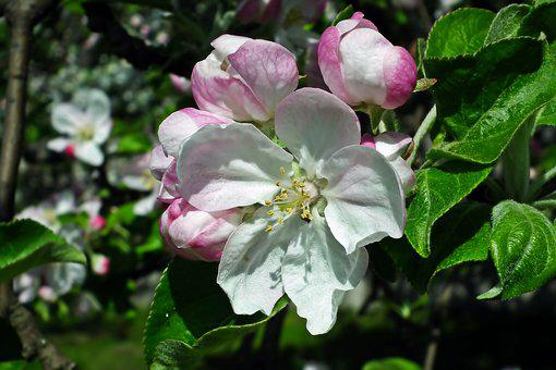 Flower, Apple, Tree, Branch, Spring, White, Garden