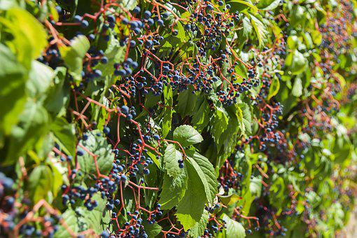 Vineyard, Vine, Grape, Wine, Grapes, Background, Spring