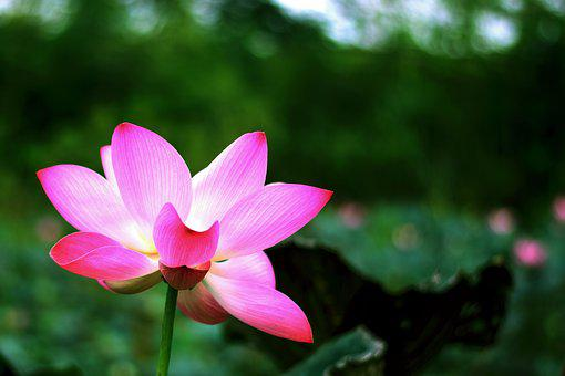 Lotus, Flowers, Nature, Flower, Water Plants, Water