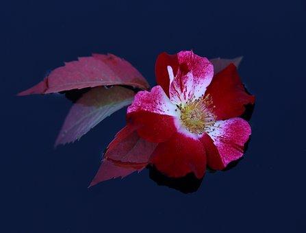 Rose, Flower, Red, White, Water, Waterline