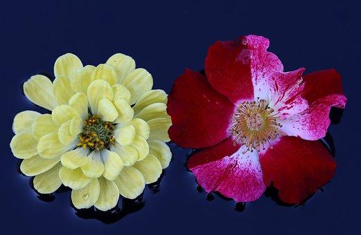 Rose, Red, White, Yellow, Flower, Water, Waterline