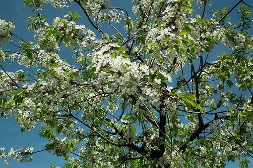 Tree, Cherry, Flowers, Spring, White, Delicate, Garden