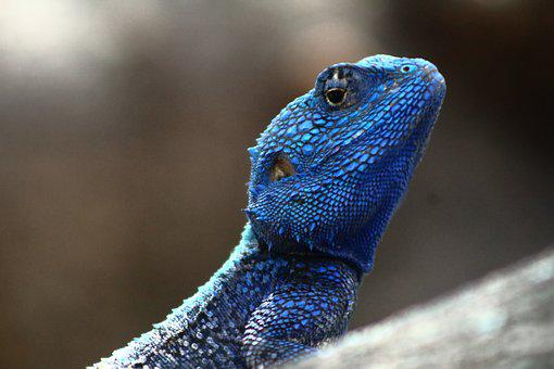 Reptile, Blue Headed Lizard, Wildlife, Iguana