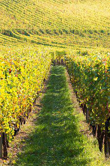 Wine, Vines, Vineyard, Alsace, Harvest, Read, France