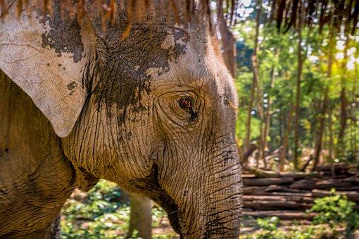 Elephant, Animal, Eye, Wildlife, Stare, Wrinkles, Wild