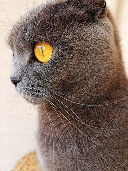 Cat, Cat Eyes, Eye, Eyes, Yellow Eyes, Yellow, Grey Cat