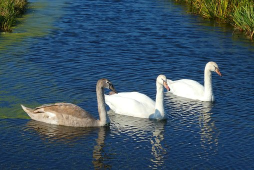 Swans, Young Swans, Waterfowl, Plumage, Swimming, Water
