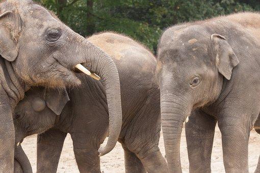 Elephant, Elephants, Mammal, Africa, Safari, Animals