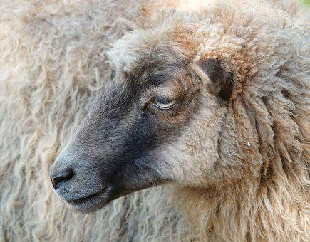 Sheepshead, Sheep, Wool, Close Up, Animal Portrait