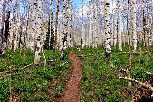 Aspen Trees, Forest, Path, High Altitude, Hike