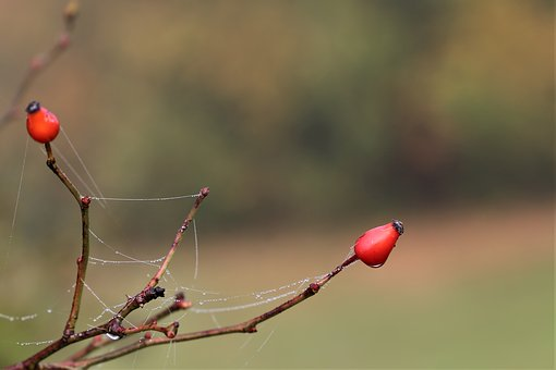 Rose Hip, Dog Rose, Spider Net, Red Berries, Autumn