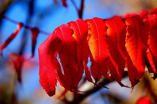 Rhus, Autumn, Leaves, Emerge, Fall Leaves, Red, Bright