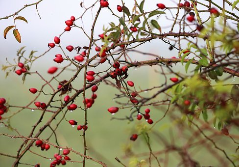 Rose Hip, Dog Rose, Berries, Bush, Plant, Red, Healthy