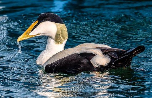 Bird, Common Eider, Seabirds, Wildlife, Birding
