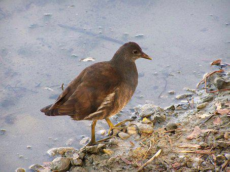 Young Vízityúk, Waterfowl, Bird