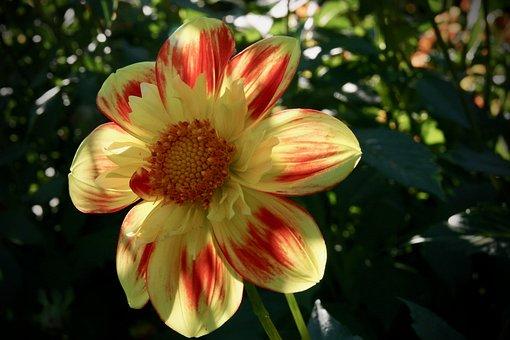 Blossom, Bloom, Dahlia, Orange, Yellow, Petals, Stamens