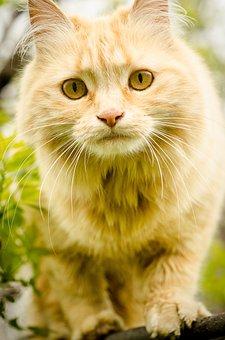 Cat, Long-hair, Orange, Eyes, Domesticated, Animal