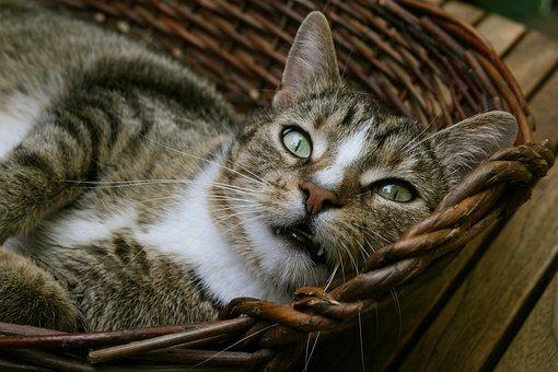 Domestic Cat, Pet, Cat, Mackerel