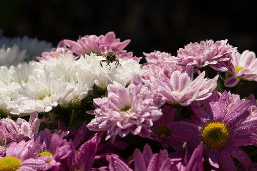Chrysanthemums, Background, Chrysanthemum, Flowers