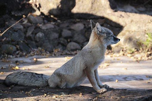 Korsak, Fuchs, Animal, Nature, Animal World, Cute