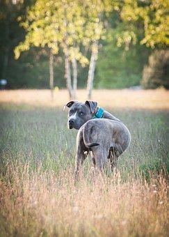 Amstaff, American Staffordshire Terrier, Dog, Pitbull