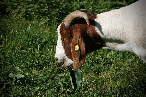Goat, Pet, Livestock, Horns, Domestic Goat