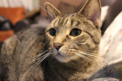 Cat, Pet, Cats, Animals, Portrait, Feline, Eyes