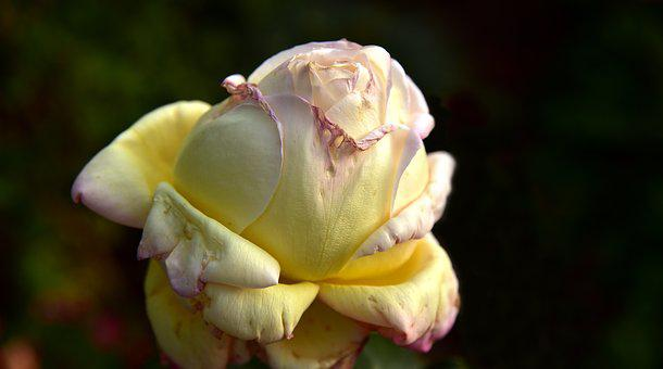 Rose, Faded, Transient, Autumn, Blossom, Bloom, Flower