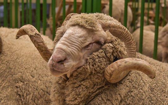 Sad, Baran, Animal, The Horn Of Africa, Fauna