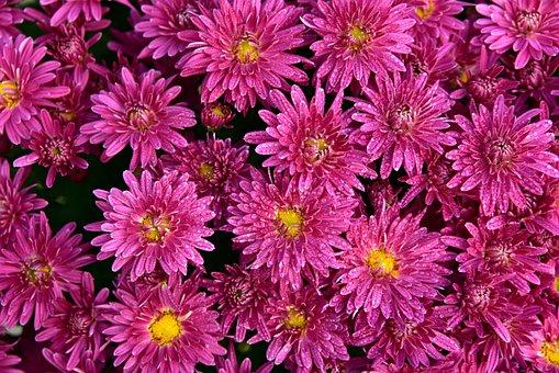 Asters, Flowers, Pink, Bloom, Flower, Composites