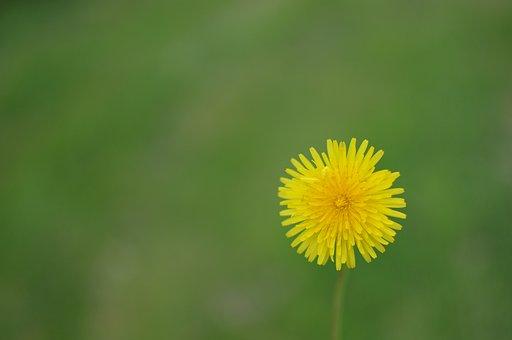 Dandelion, Flower, Plant, Flora, Nature