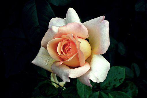 Flower, Rose, Color, Beauty