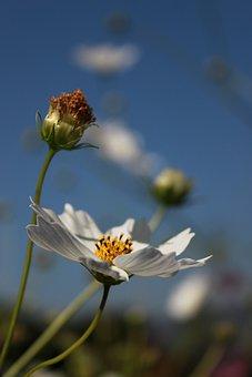 Cosmos, Flowers, Nature, Plants, Flower Garden, Petal