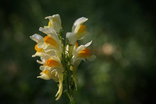 Flowers, Loewenmaeulchen, Snapdragon, Yellow
