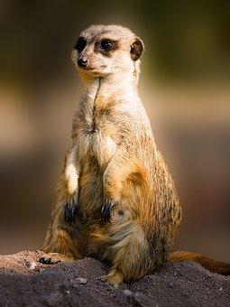 Animals, Meerkat, Mammal, Fur, Sweet, Charming, Small