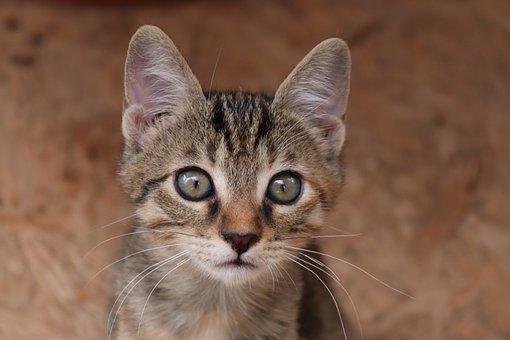 Cat, Animal, Domestic Cat, Baby Cat, Small, Getiegert