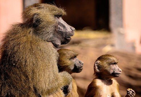 Animal, Ape, Baboon, Sphinx-baboon, Family, Girlfriends