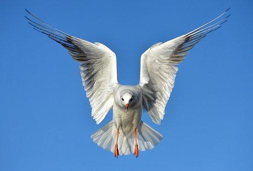 The Seagull, Bird, Sea, Animal, Wings, Heaven, Feather
