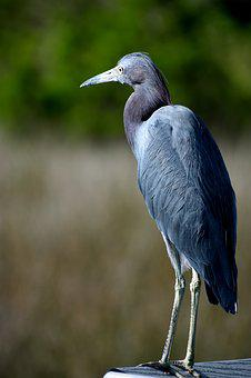 Blue Egret, Wildlife, Nature, Heron, Bird, Avian
