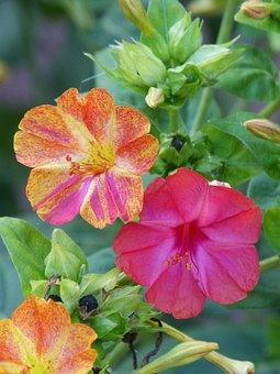 Flower, John's Night, Hybrid, Hybridization, Bicolor